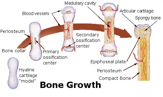 Bone Growth and Treatment For Osteoporosis